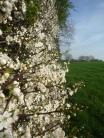 Spring Hawthorn 003