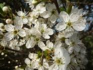 Spring Hawthorn 004
